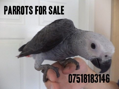 473659_baby-hand-reared-african-grey-parrots-for-sale_photo_1_1425816169_img