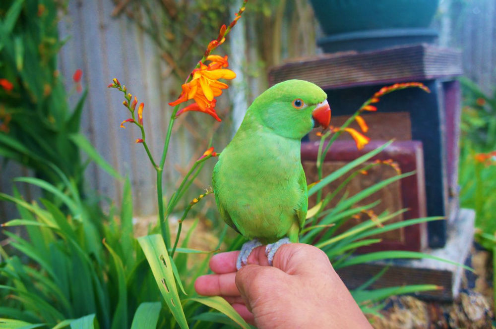 Hand Reared Baby Indian Ringneck Parrot For Sale