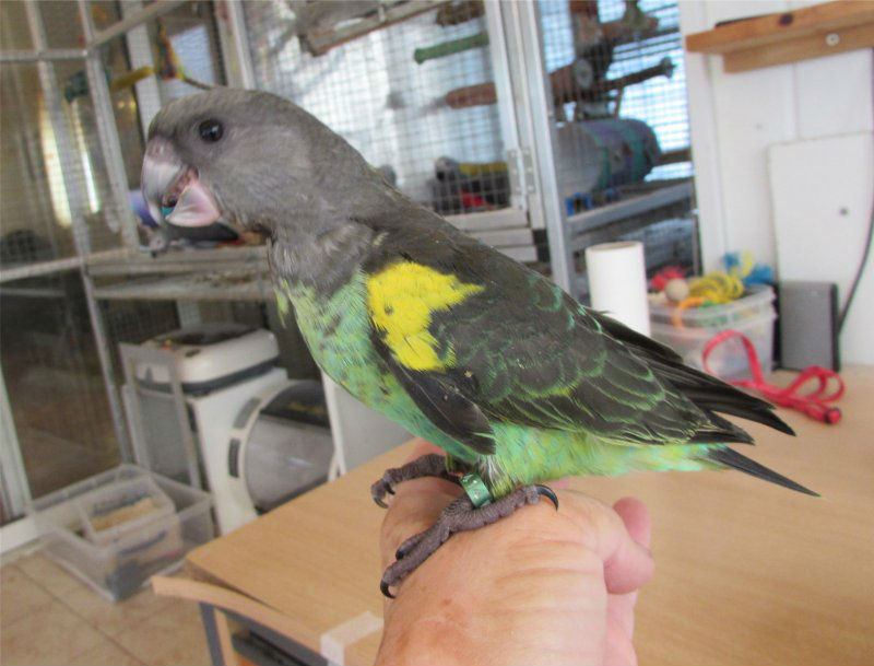 Hand Reared Baby Meyer Parrots for sale