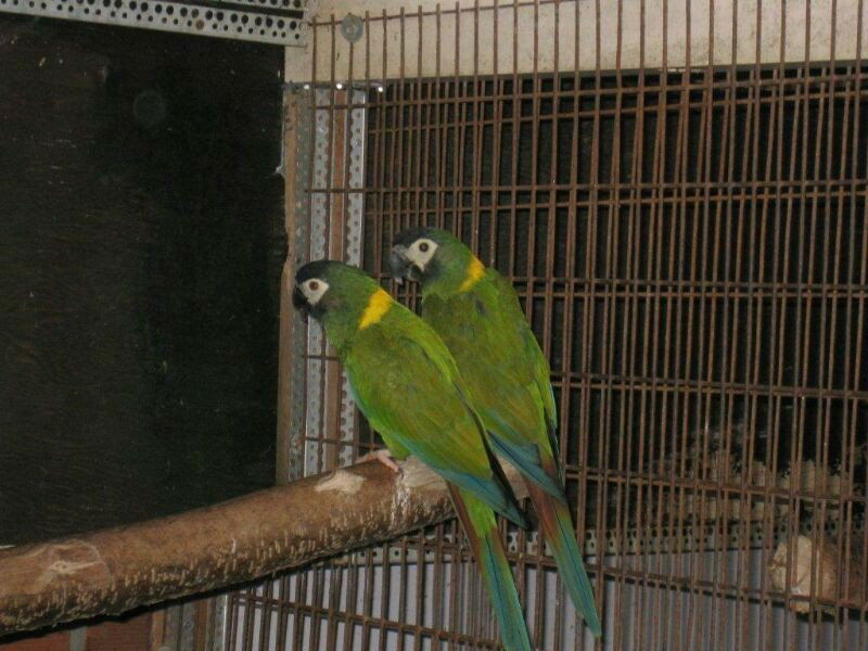 Adult Yellow Collared Macaws For Sale