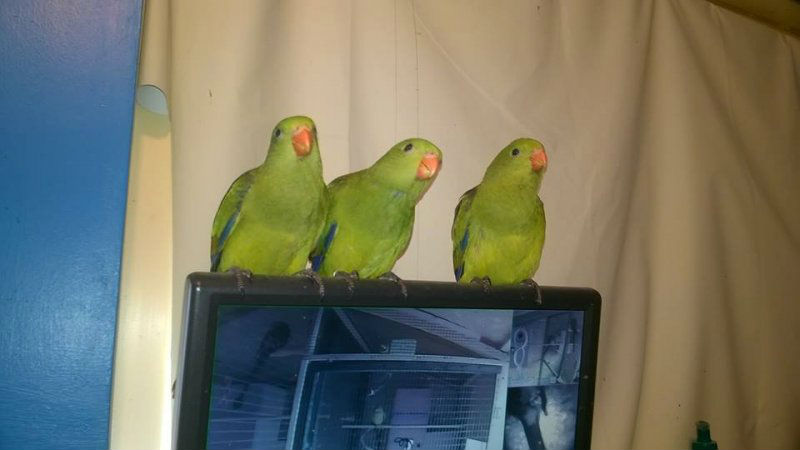 Hand Reared Rock Pebbler Regent parakeet for sale