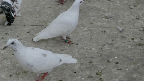 top quality pure white delbar and busschaert racing pigeons