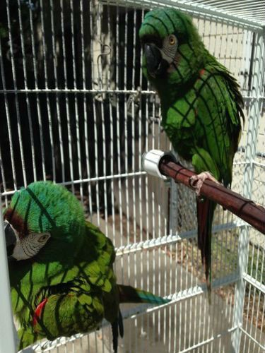 severe-macaws-for-sale-500x500