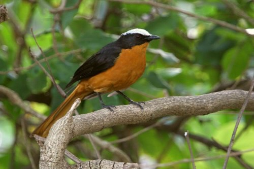 White-crowned20robin-chat-1