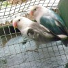 Lovebird-Fischers-BluePied-x-MauveVioletPied
