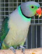 Hand Reared and Tame Malabar Parakeet For Sale