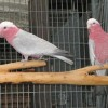 1329072076_314625664_1-Pictures-of--rose-breasted-galah-cockatoo-pair-for-sale