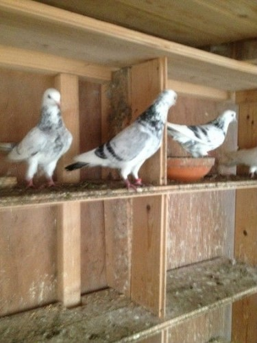 517748_silver-badge-and-mottled-pigeons-_photo_1_1452950903_img
